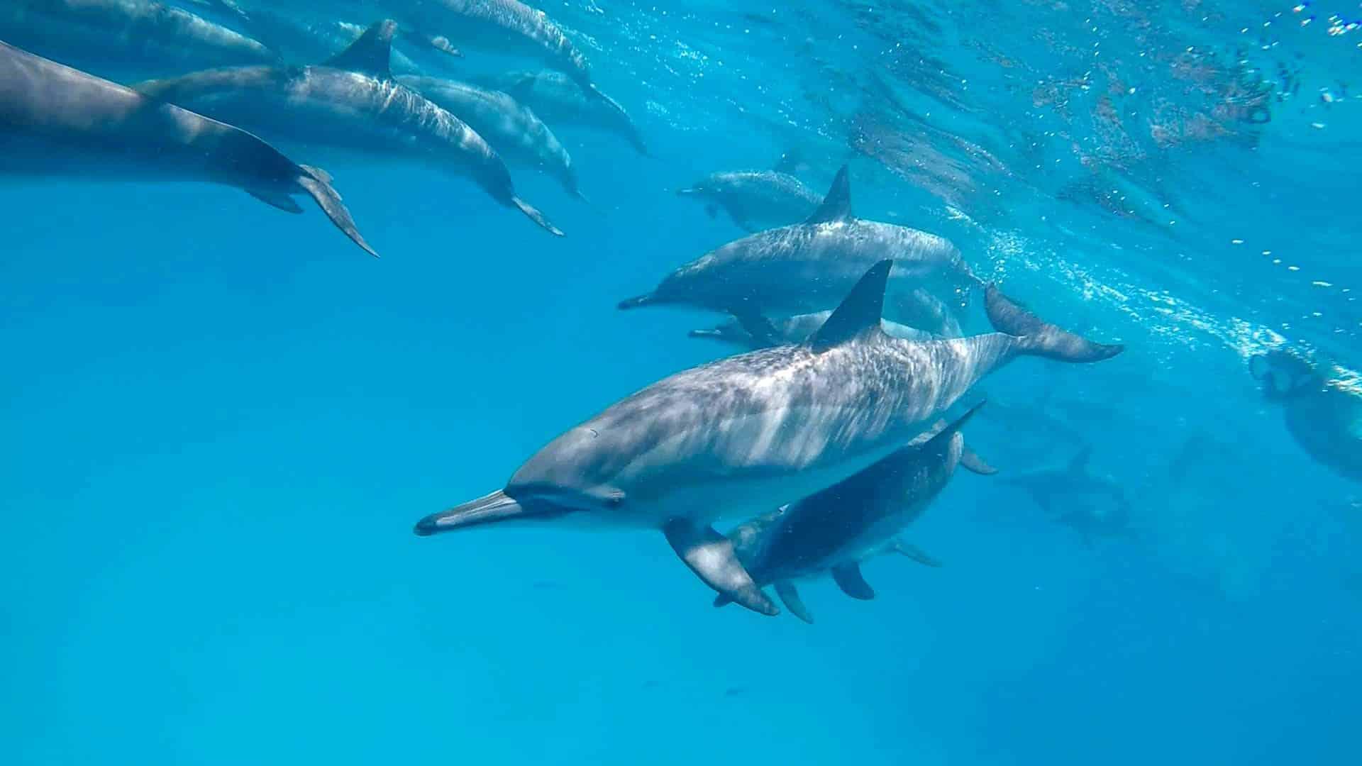 marsa alam dolphins